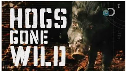 Hogs Gone Wild Discovery Channel video