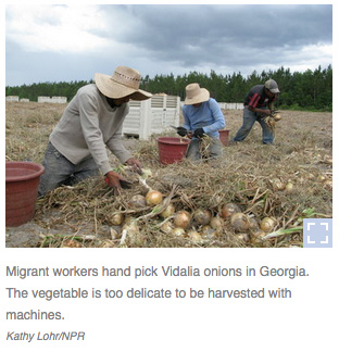 Migrant workers pick onions in Georgia